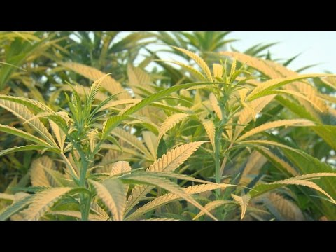 Major investment firm puts money into marijuana