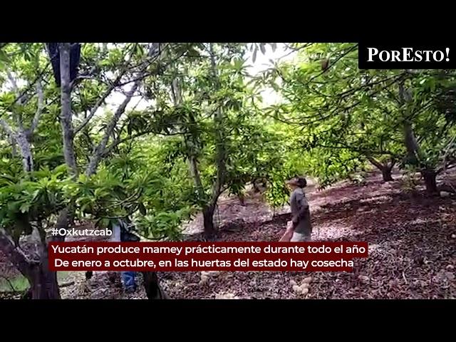 Yucatán produce mamey prácticamente durante todo el año