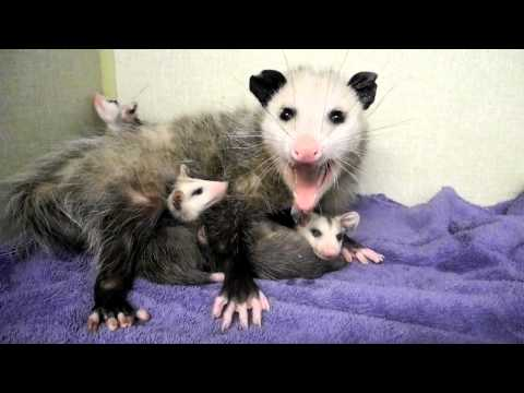 Mother Opossum and Babies 2