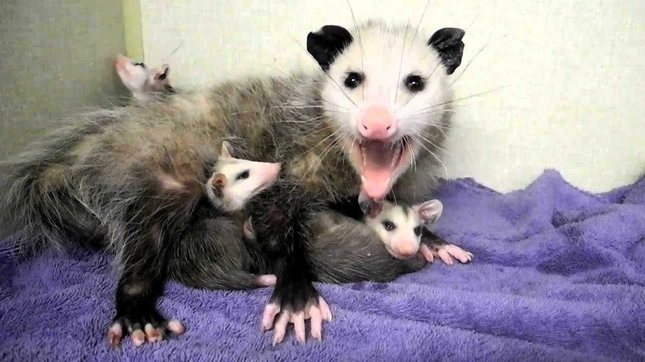 Mother Opossum And Babies 2 Doovi