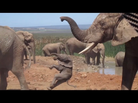 Baby Elephant Being Thrown Around By Bull