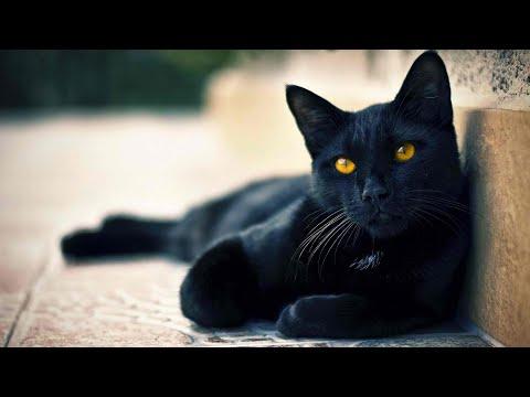 كل المعلومات عن القط الامريكي الاسود بومباي BOMBAY CAT
