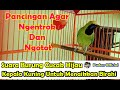 Suara Burung Cucak Ijo Kepala Kuning Untuk Menaikkan Birahi Bahan Agar Ngentrok Dan Ngotot  Mp3 - Mp4 Download