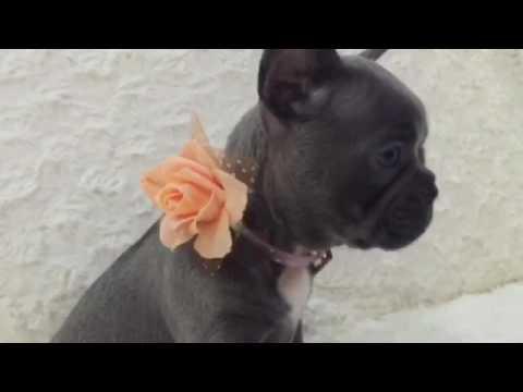Bulldog Francese Blue Occhi Azzurri I Cuccioli Di Carlotta Youtube