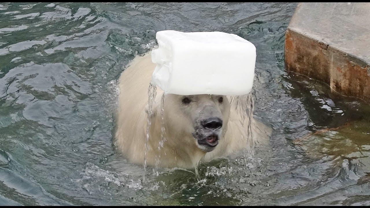 Жонглёр-эквилибрист полярный медведь Кай