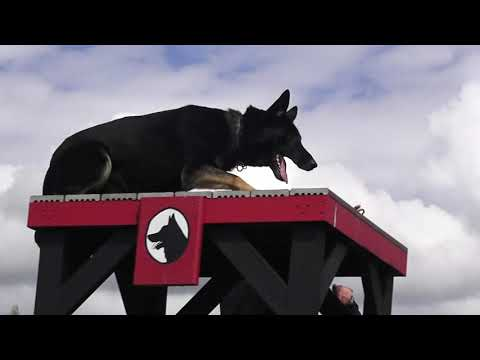 kraftwerk-k9-german-shepherd-highly-skilled-obedience!