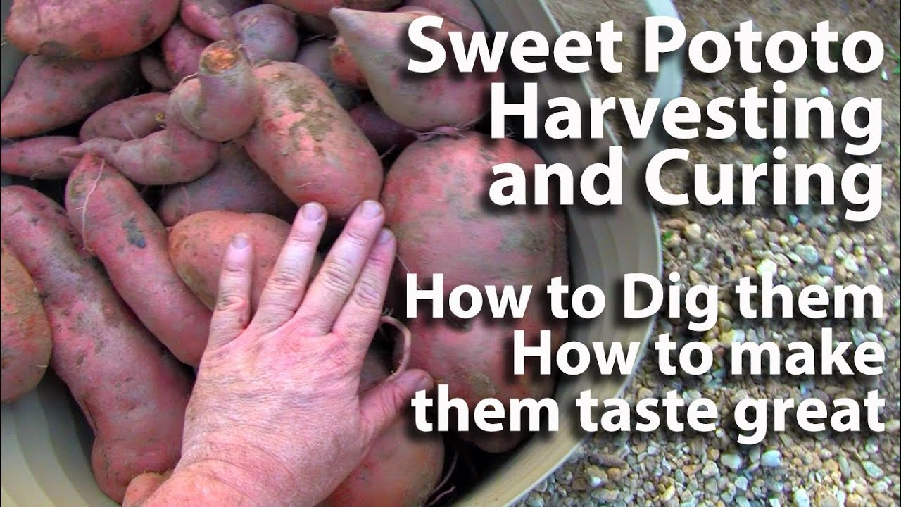 sc 1 st  YouTube & Sweet Potato Harvesting and Curing - YouTube