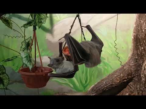 An eating Egyptian fruit bats