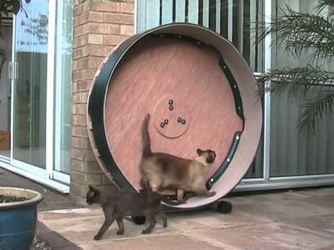 Thumbnail for Cat Video Large Burmese Cat & Kitten play on Cat Exercise Wheel