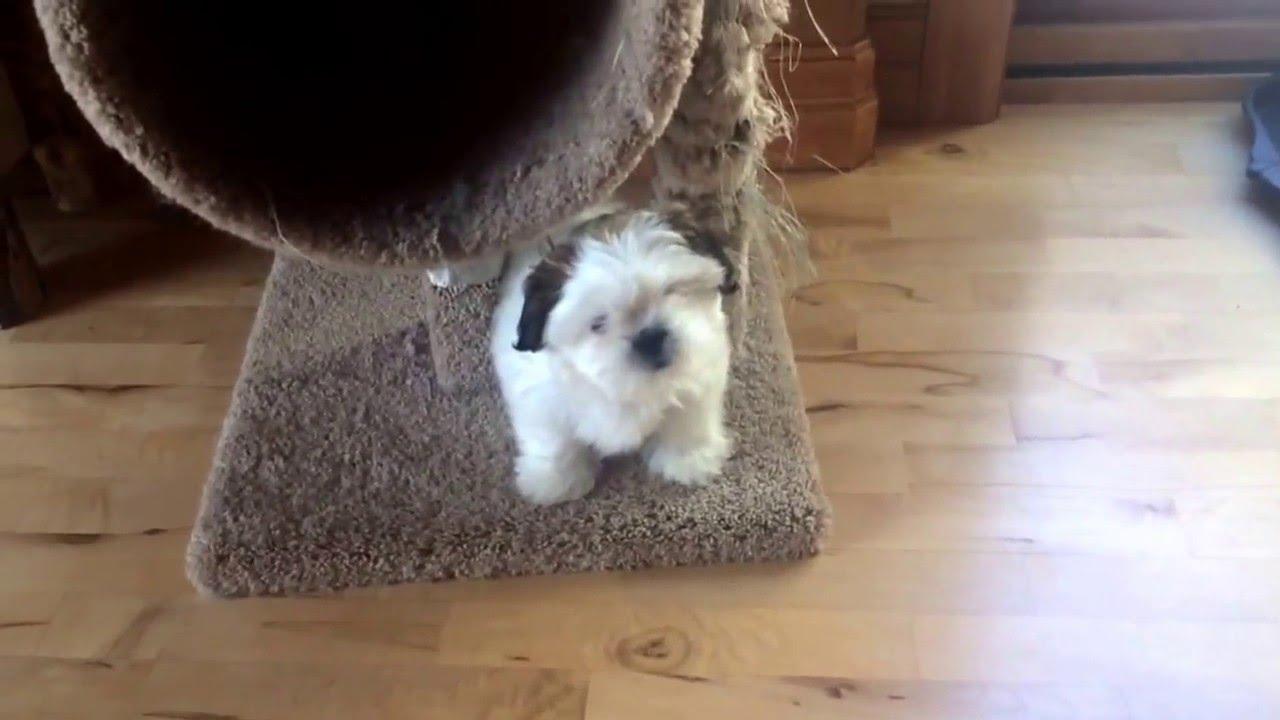 Puppy Training Shih Tzu Potty Indoor Playpen