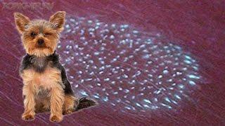 Лишай у собак | Стригущий лишай | Лечение.