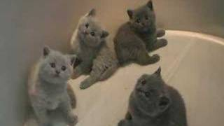 British Shorthair Kittens - blue and lilac