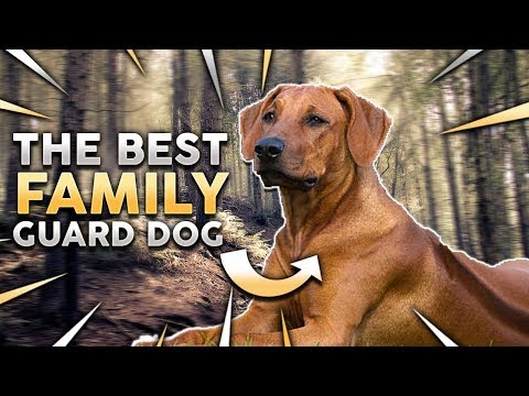 RHODESIAN RIDGEBACK! The Best Family Guard Dog!