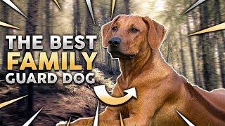RHODESIAN RIDGEBACK! The Best Family Guard Dog!