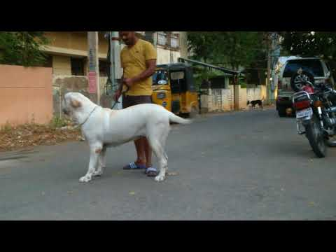 Fila Brasileiro aggresive brazilian mastiff