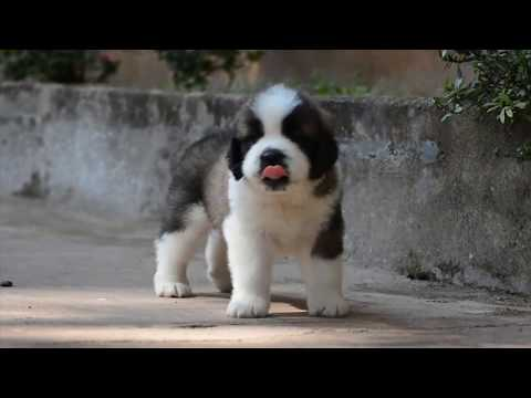 KK's Saint bernards Very Active  Puppies HD video puppies short movie