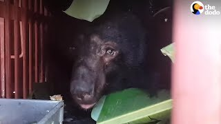 Bears Rescued From Bile Farm Can't Wait To Get To Sanctuary | The Dodo