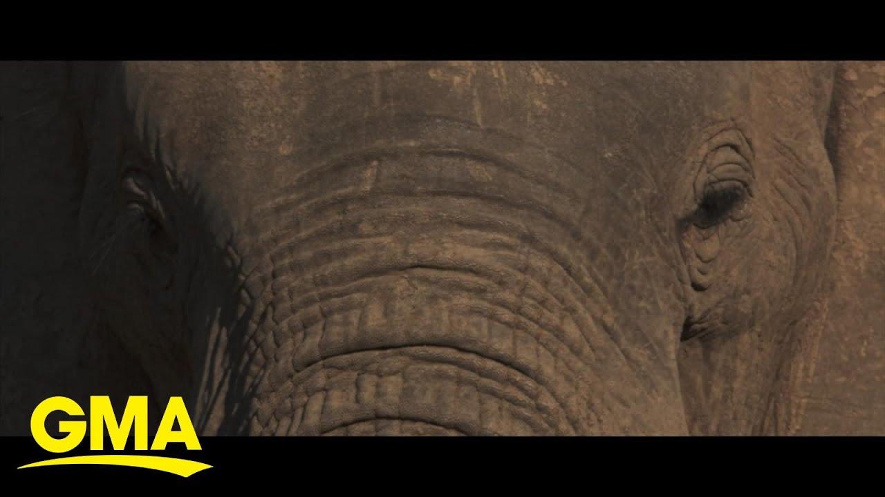 Celebrating World Elephant Day with new NatGeo film