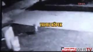 4 волки разорвали щенка породы алабая(, 2013-12-21T19:06:10.000Z)
