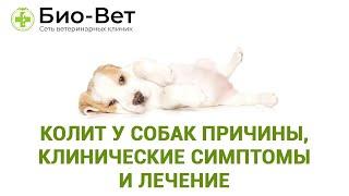 Колит у собак причины, клинические симптомы и лечение