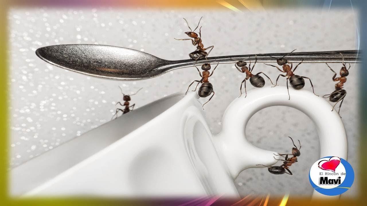 Como eliminar las hormigas con remedios caseros como - Eliminar hormigas cocina ...