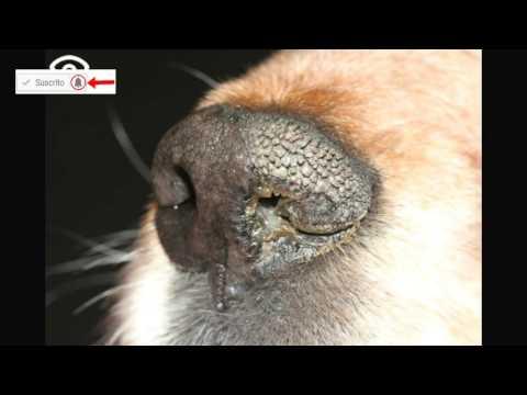 Nariz seca en perros ¿es un problema?