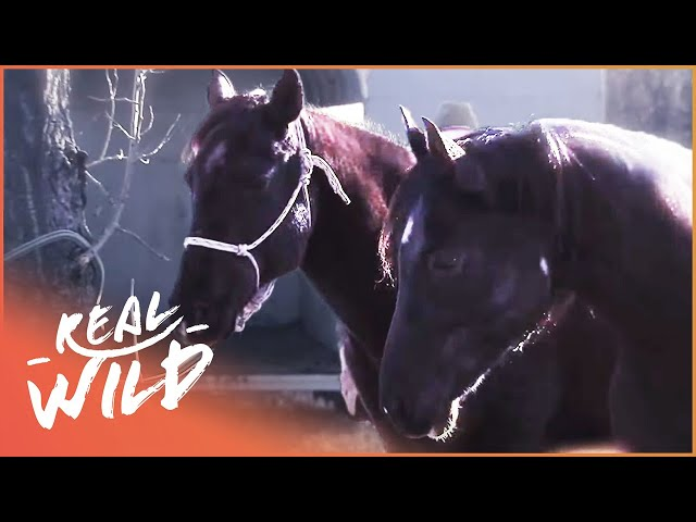 Injured Horse Is Saved By Another Horse In Epic Rescue | Pet Heroes | Real Wild