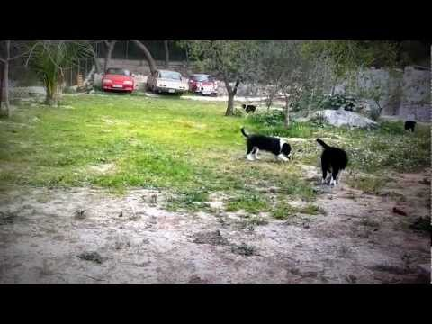 Cachorros Border Collie de Work & Beauty Kennel, ¡¡¡ se lo pasan genial !!!.mp4