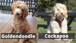 Goldendoodle vs Cockapoo | Detailed Comparison between these two dog breeds