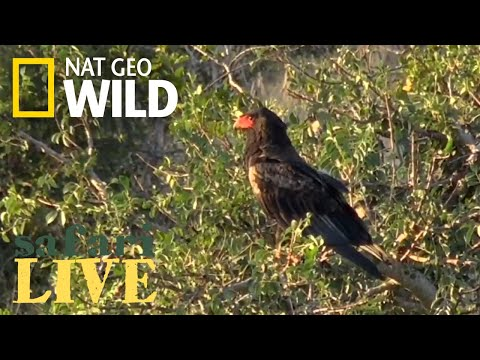 WATCH NOW: Safari Live | Nat Geo WILD