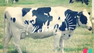 Les vaches et taureaux
