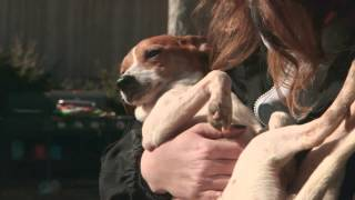 Rescued: 55 Jack Russell Terrier Mixes Saved From Horrific Conditions