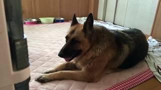 Lucky, my German Shepherd cannot walk. Hoping he will get better soon.