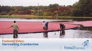 Harvesting Cranberries - Farm Tour
