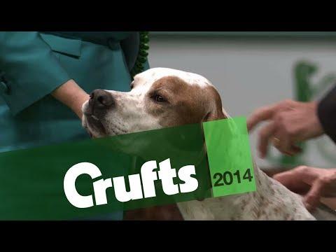 Group Judging | Gundog | Crufts 2014