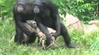 Смешные обезьяны, бесплатные видео приколы про кошек, бесплатные приколы про собак