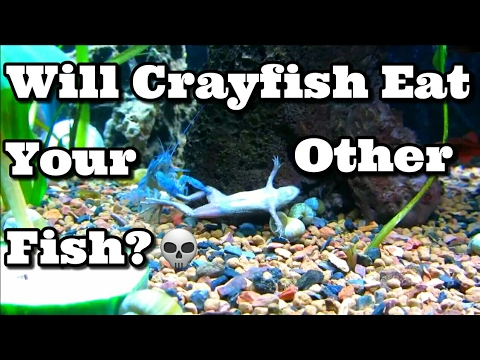 Will Crayfish Eat Your Other Fish?