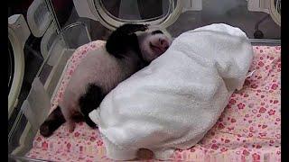 双子パンダ誕生1カ月 白黒はっきり、体重1キロ超 上野動物園