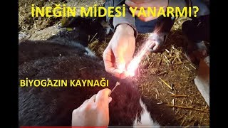 ineklerde mide gaz alma trakoru