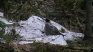 Весенняя охота на рябчика видео