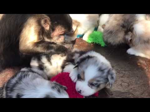 Nap time and monkey grooming at Lindsey's aussies