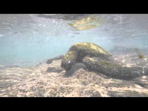 Wild green turtles underwater eating in Kaloko-Honokohau National Park