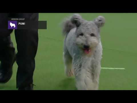 Pumik | Breed Judging 2019