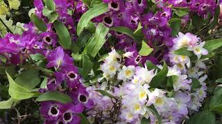 Exhibition of orchids. Botanical garden Chicago. Выставка орхидей 02/2018