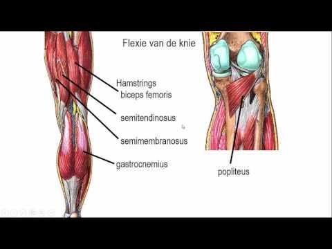 knie regionale anatomie - YouTube