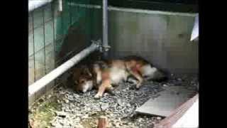 長野県の天然記念物として、森の交流館で保護、展示されている川上犬。2...