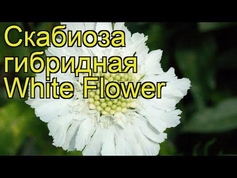 Скабиоза гибридная Белый Цветок. Краткий обзор, описание scabiosa columbaria barocca White Flower