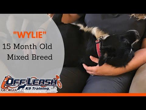 Wylie   15 Month Old Mixed Breed   Dog Training Duluth Georgia   OffLeashGeorgia.com