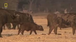 Дикая природа Африки Хищники Жизнь львиного прайда Документальный фильм National Geographic