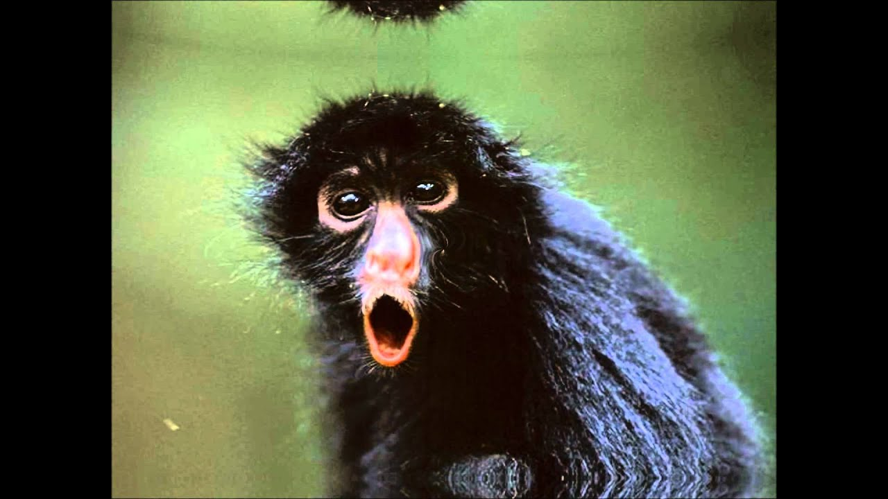 Laughing Funny GIF  Laughing Funny Monkey  Tenor